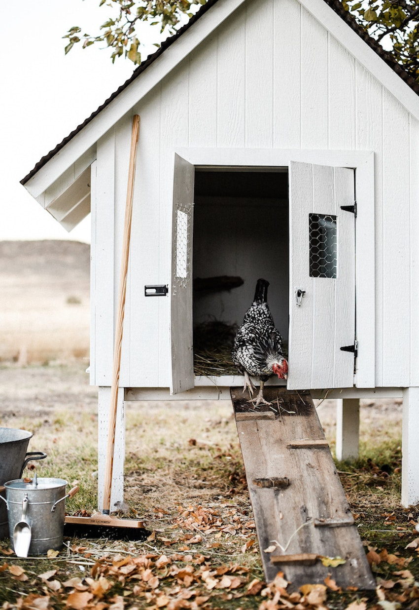 Everything You Ever Wanted to Know about Keeping Backyard Chickens