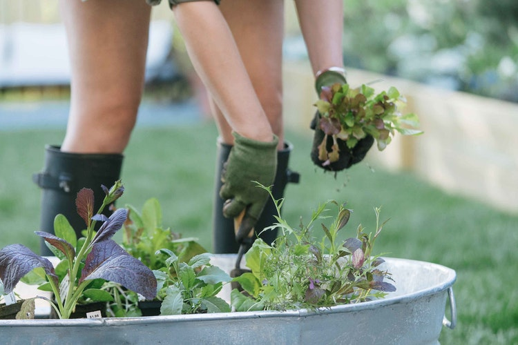 How to Grow Lettuce, Spinach & Greens